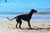 20180408 MARKGRAFENHEIDE (83).jpg (Marco Förster) Tags: dobermann hunde natur markgrafenheide ostsee strand frühling