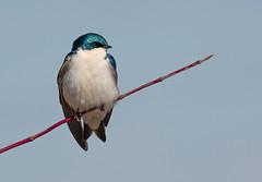 tree swallow (Mel Diotte) Tags: tree swallow wild nature bird mel diotte explore nikon d500 200500