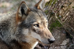the wolf (Anche*) Tags: lupo wolf parconazionaledabruzzo
