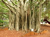 Banyan tree. (ficus benghalensis) (Tom Kennedy1) Tags: banyan ficusbenghalensis banyantree