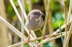House Sparrow (f) (passer domesticus) (search instagram phat5toe) Tags: housesparrow passerdomesticus birds avian feathers wildlife nature wigan flashes nikon d7000 tamron150600mm