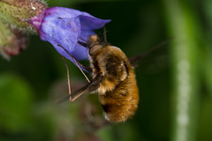 Beefly (Bombylius major) (The LakeSide) Tags: insect macro nikon d7100 r1c1 fly beefly bombylius major netherlands