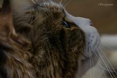 DSC_2752 (Birdiebirdbrain) Tags: cat mainecoon feline pet animalphotography animal nikon nikond3300 dean tamron tamron18270mm