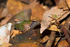 Frog still needing to be identified (piazzi1969) Tags: elements amphibians frogs herps wildlife fauna nature canon eos 5d markiii ef100mm africa uganda afrika macro herpetology frösche