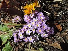 Крокусы и примула (Ольга К.) Tags: цветы макросъемка flowers крокусы примула crocus primrose