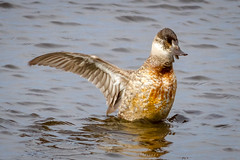 Female Ruddy Duck (tresed47) Tags: 2018 201803mar 20180312bombayhooknwr birds bombayhook canon7d content delaware ducks folder march peterscamera petersphotos places ruddyduck season takenby us winter