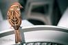 Sparrow at the bar / Gorrión en el bar (Antonio F. Alvarez) Tags: sparrow gorrión silla chair 50mm nikon d90 fauna animal pajaro ave