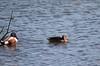Shoveler duck (ekaterina alexander) Tags: shoveler shovelers duck ducks wetland waterbird wild spatula clypeata ekaterina alexander nature photography pictures england sussex