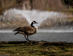 Canada goose (JuanJ) Tags: nikon d850 lightroom art bokeh nature lens light landscape white green red black pink sky people portrait location architecture building city iphone iphoneography square squareformat instagramapp shot awesome supershot beauty cute new flickr amazing photo photograph fav favorite favs picture me explore interestingness wedding party family travel friend friends vacation beach kentucky lexington fayettecounty usa 2018 march canada geese canadageese bird wing