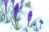 Wintereinbruch vor dem Winterende (2) (Gerosas) Tags: aposonnart2135 blau blüte bokeh eisig frost kalt krokus lila märz offenblende park pflanze remsmurrkreis schnee stadtmitte violett vorfrühling waiblingen winter zeiss