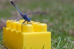 Building my Castle - _TNY_3668 (Calle Söderberg) Tags: macro canon canon5dmkii canoneos5dmarkii canonef100mmf28usmmacro vietnam phuquoc mercuryphuquocresortvillas flash meike mk300 glassdiffusor insect dragonfly trollslända odonata libellulidae libelluloidea segeltrollslända blue chalkypercher groundskimmer bluegroundskimmer phalerata braminea toy yellow lego brick duplo plastic perch diplacodes trivialis blueeyes f13 grass lawn vividstriking 5d2