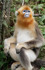 Golden Snub-nosed Monkey (Rhinopithecus roxellana) (cowyeow) Tags: china chinese asia asian shennongjia hubei shennongjiaforestrydistrict wildlife nature monkey monkeys endemic rare cute golden snubnosed rhinopithecusroxellana goldensnubnosedmonkey rhinopithecus roxellana snubnosedmonkey goldenmonkey forest