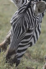 Zebra portrait (featherweight2009) Tags: burchellszebra dquusquagga zebra commonzebra plainszebra africa