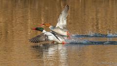 Common Merganser pair (Earl Reinink) Tags: bird animal water earl reinink earlreinink merganser commonmerganser flight spash eradiatdza