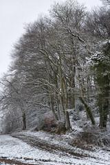Woodland edge (chairman.bill) Tags: winter beeches track woodland halse somerset