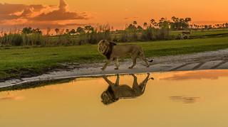 LION AT DUSK: