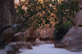 Lonely fig tree, Petra