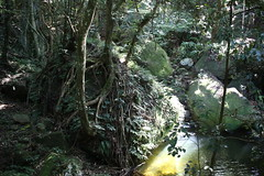 sub tropical rainforest with the strangler fig (Ficus obliqua) (Poytr) Tags: forest tree wood rock landscape illawarra foxground rainforest fig ficus moraceae subtropicalrainforest arfp nswrfp qrfp ficusobliqua lowlandarfp water creek stranglerfig nsw australia canonefs24mmf28stm pancakelens