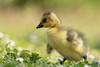 Baby Time <3 (Claudia Brockmann) Tags: natur nature wildlife wildanimal kanadagans kanadagansbabys kanadagänse canadagoosechicks canadagoose outdoor wiese