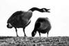 She's Mine (stellagrimsdale) Tags: goose goosehonk canadagoose monochrome blackandwhite bird birdphotography birding birds geese silhouette 7dwf
