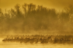Sandhill Cranes in the fog at sunrise near Kearney, Nebraska (diana_robinson) Tags: sandhillcranes gruscanadensis nebraska kearney platteriver crane migration redcappedsandhillcrane largebird fog sunrise