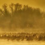 Sandhill Cranes in the fog at sunrise near Kearney, Nebraska thumbnail