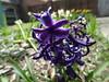 Hyacinthus orientalis_Chicago Holland1 (Alka Khare) Tags: hyacinthus asparagaceae