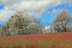 Le printemps (Yvan LEMEUR) Tags: printemps nature landscape paysage ecologie arbres arbresenfleurs dordogne france périgord ciel nuages beauxjours