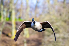 Here I come (stellagrimsdale) Tags: bird birdphotography birding birdinflight canadagoose goose eyes lookingatme trees