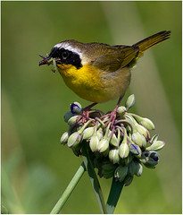 58 - Yellowthroat