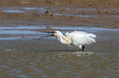 DSC_3503 (Adrian Royle) Tags: lincolnshire framptonmarsh rspb nature wildlife bird heron spoonbill nikon