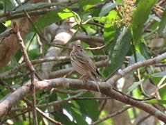 Anthus hodgsoni (dhobern) Tags: 2018 china march xtbg xishuangbanna yunnan aves passeriformes