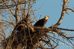 Bald Eagle parents swap out watch duties