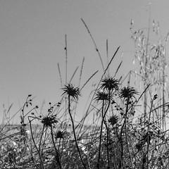 Dies trists  -  Sad days (Miquel Lleixà Mora [NotPRO]) Tags: larocadelvallès cataluña españa es flors flowers blancinegre blackandwhite igersmaresme igerscatalunya igersmataro natura nature