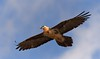 "MRC_5846 On Air (Obsies) Tags: vulture ""beardedvulture"" bif birds quebrantahuesos volando"