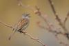 Dunnock singing (Kees499  Nature pics) Tags: prunellamodularis heggenmus keesmolenaar holland zangvogel songbird tuin alblasserwaard nikon d500 afs500f4vr