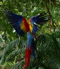 Scarlet Macaw (Gail Casteel) Tags: travel avian wildlife nature birdwatching birds scarlet macaw alajuela costarica