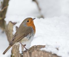 Robin in Snow (Mukumbura) Tags: robin bird snow wintry weather spring equinox nature wildlife britain erithacusrubecula christmascard