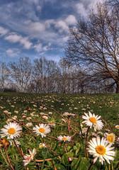 Spring in Padova (Robyn Hooz (away)) Tags: padova padovainfoto parcoiris iris forcellini park wideangle polarizzatore daisy margherita italy spring erba grass soil home hometown veneto