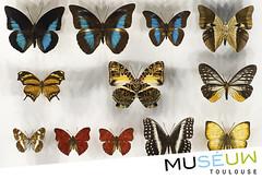 79x54mm // Papillons // Muséum de Toulouse