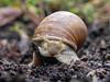 Snail on her trail (Priamos81) Tags: coolpixp100 crawl creep erde macro makro nikon schnecke snail soil reichelsheimodenwald hessen deutschland de
