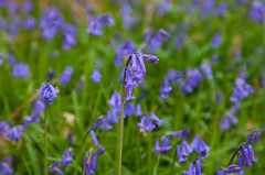 Woodland Bluebells (2017) (Adam Swaine) Tags: bluebells woodlandfloor woodland flora flowers wildflowers spring sussex naturelovers nature petals seasons canon 2017 naturewatcher british britain counties countryside ukcounties greatbritain colours macro