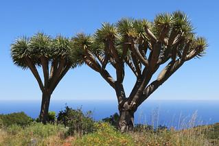 La Palma - Canary Islands dragon trees