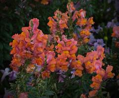 Beautiful Blooms (rowebal) Tags: beautiful beauty beautifulearth bloomblossomsflowerplant flowers