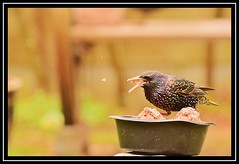 """Glutton...!!!"" (NikonShutterBug1) Tags: nikond7100 tamron18400mm birds ornithology wildlife nature spe smartphotoeditor birdfeedingstation bokeh birdsfeeding starling negativespace crazytuesdaytheme 7dwf wingwednesday"