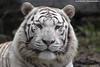 White Tiger - Pairi Daiza (Mandenno photography) Tags: animal animals white whitetiger tiger tijger tigers tijgers pairi daiza pairidaiza belgie belgium bigcat big cat zoo ngc nature