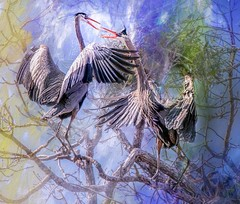 A Ruckus At The Rookery (Wes Iversen) Tags: ardeaherodias brighton greatblueheron hww kensingtonmetropark michigan milford tamron150600mm wingwednesday birds branches colors conflict digitalart nests painterly texture trees wildlife magicunicornverybest