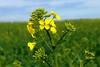 Première Fleurs de Colza (Frantce) Tags: fleurs flowers flower fleur colza champs field printemps spring