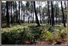 Forêt landaise. (Les photos de LN) Tags: pins nature landes aquitaine fougères verdure