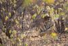 Tiger | Panthera tigris | बाघ (Paul B Jones) Tags: india tiger pantheratigris बाघ ranthamborenationalpark rajasthan nature wildlife canoneos1dxmarkii ef500mmf4lisiiusm asia asian tourist tourism travel ecotourism indian indiya inde indien indië hidden crouching safari mammal rare endangered